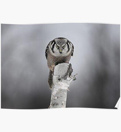Northern Hawk-Owl Poster