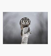 Northern Hawk-Owl Photographic Print