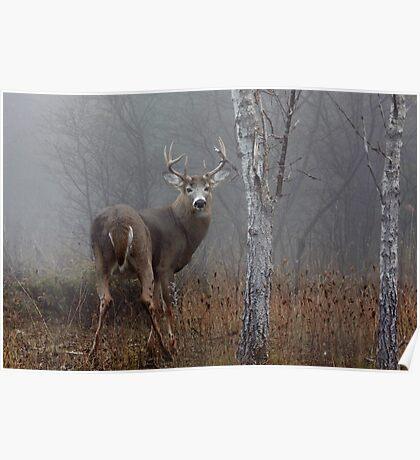 Buck - White-tailed deer Poster