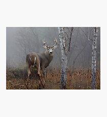 Buck - White-tailed deer Photographic Print