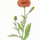 Calendula (C. officinalis) - Botanical illustration by Maree Clarkson