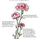 Carnation (Dianthus caryophyllus) - Botanical illustration by Maree Clarkson