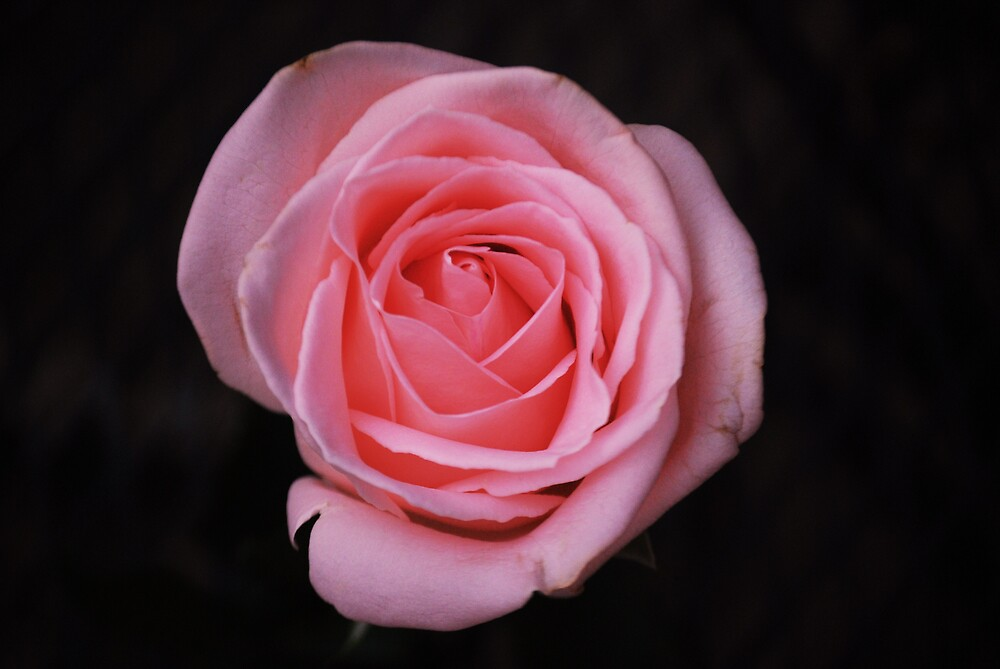 pink rose on black by marycloch