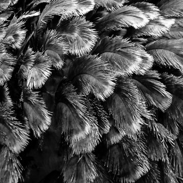 Ostrich Feathers by Enagel