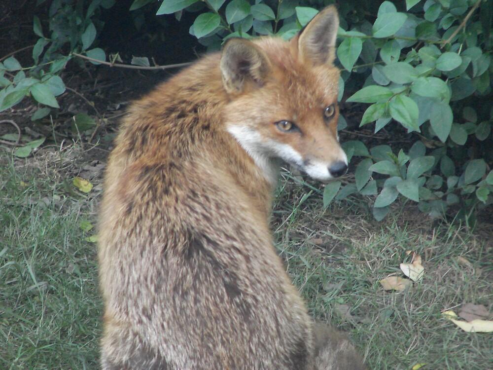 Fox by zaphos