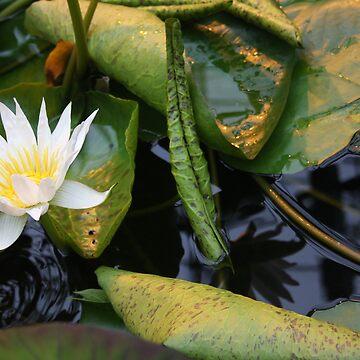 Water Lilly by KJREAY