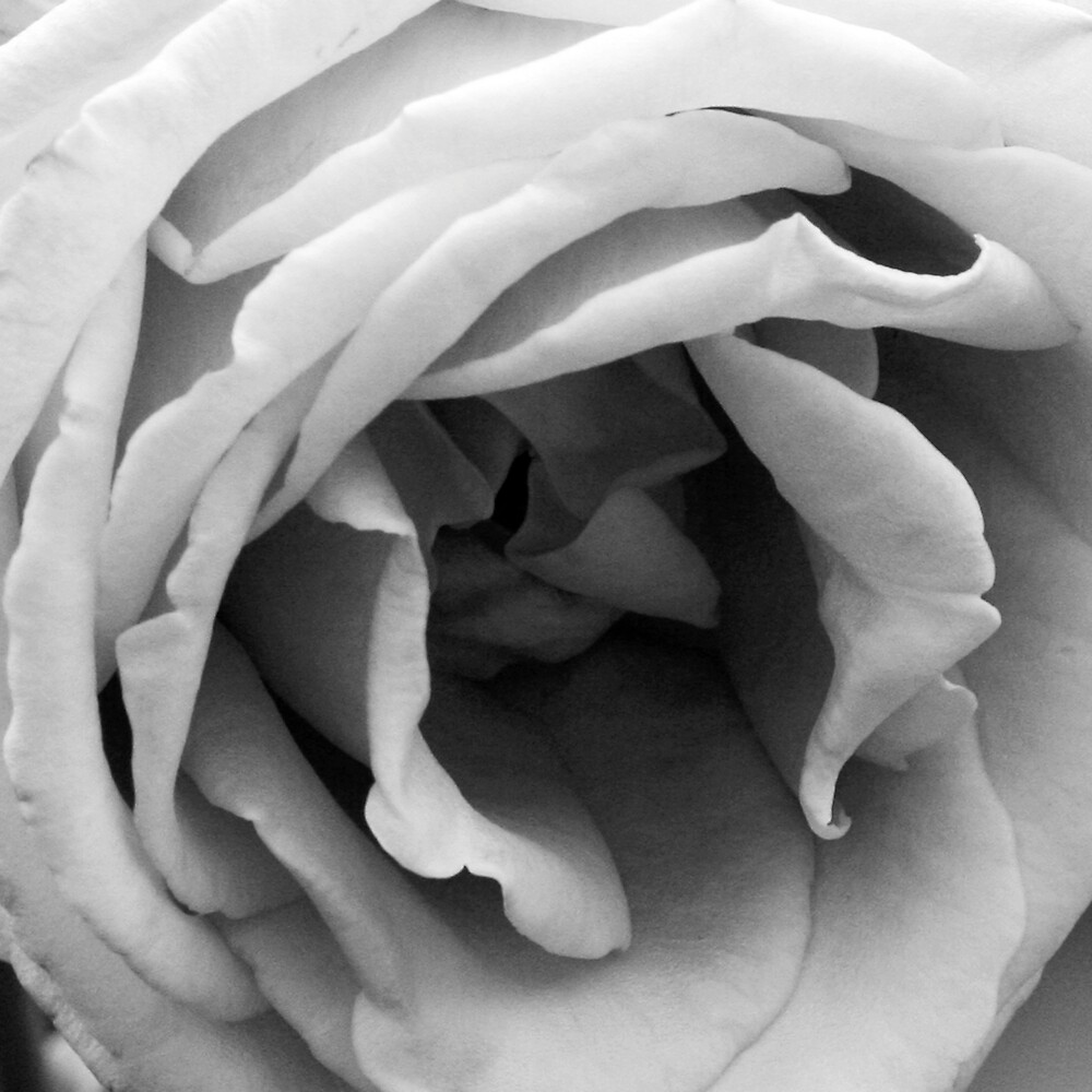 Rose #1 by Samantha Nelson