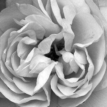 Rose #2 by Smasma