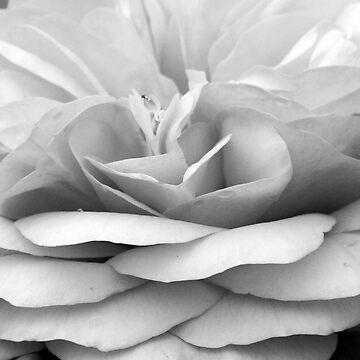 Rose #3 by Smasma