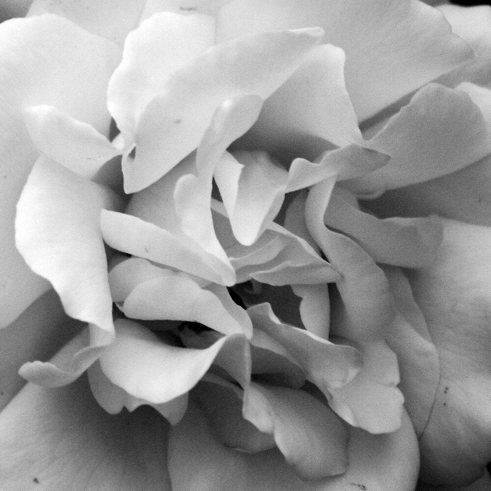 Rose #4 by Samantha Nelson