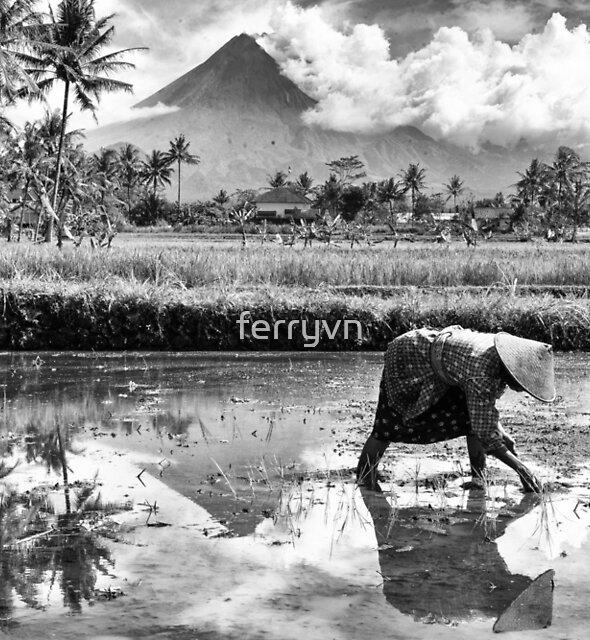 Rice Fields in Jogja  by ferryvn