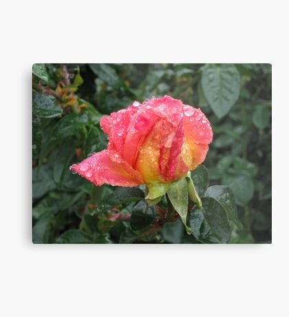 Wet and Wild Rose Metal Print