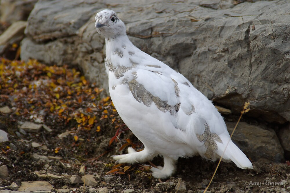 Ptarmigan A by Amy Rogers