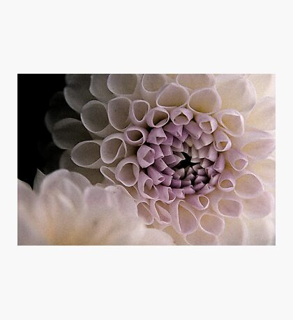 Dahlia in pink Photographic Print