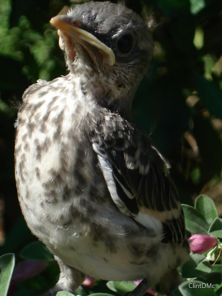a pissed off baby Mocking bird. by ClintDMc