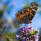 American Lady Butterfly by crystalseye