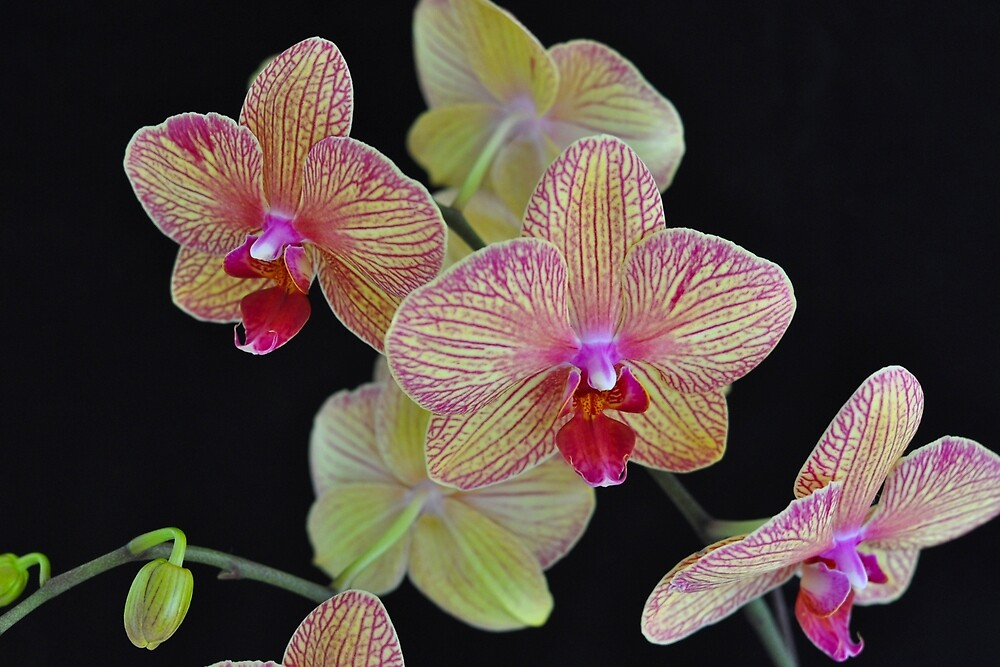 ORCHID 1086  by Thomas Barker-Detwiler