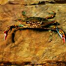 Blue Crab by Jonicool