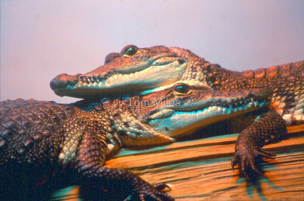 Gator Babies by Tom Miles