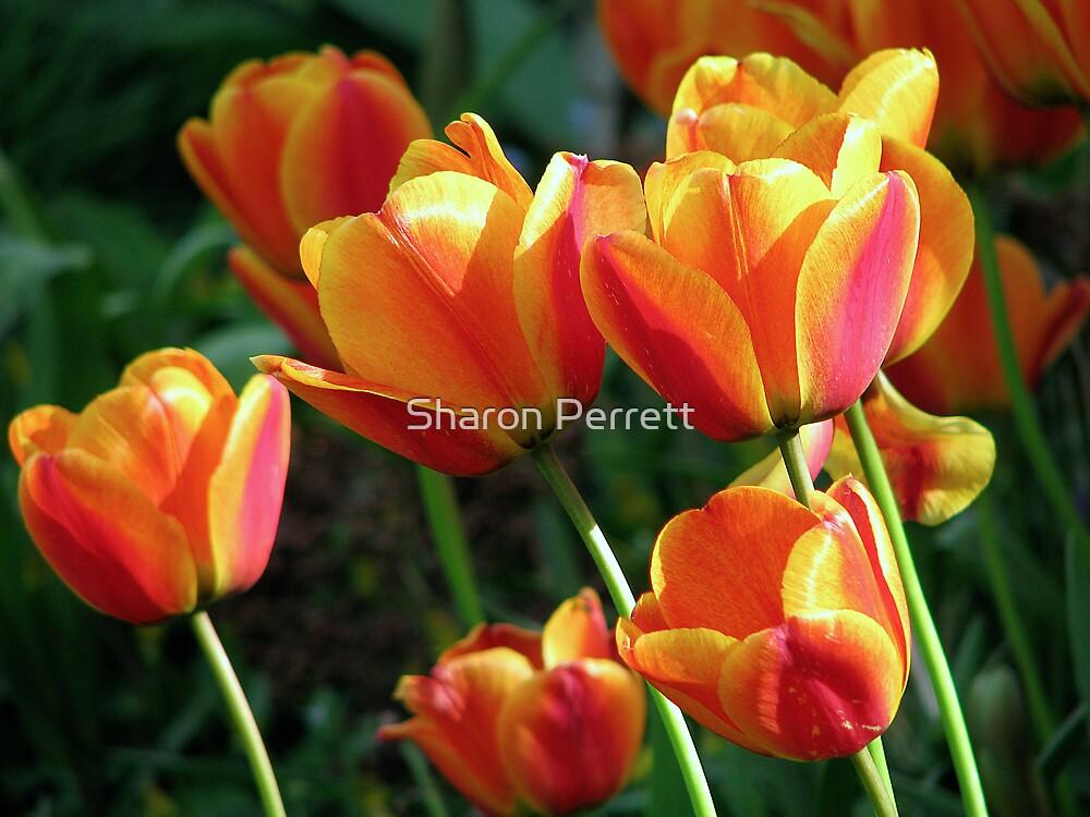 Vibrant Tulips by Sharon Perrett