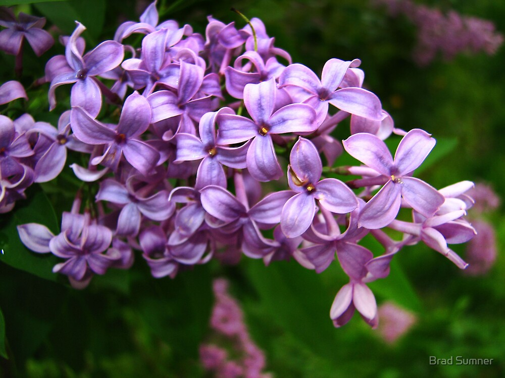Lilacs in Bloom by Brad Sumner
