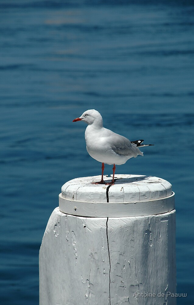 See gull on post by Antoine de Paauw