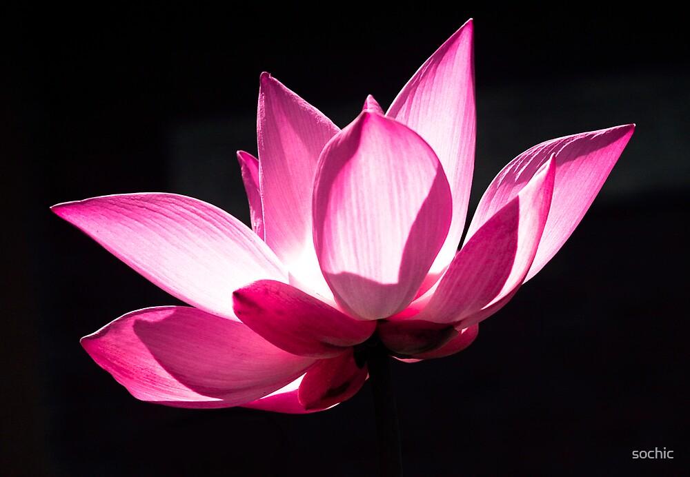Pink Lotus by sochic