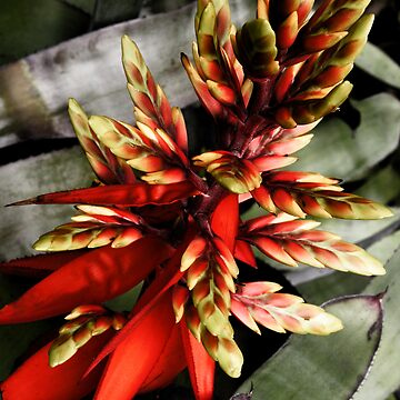 The Red Bromeliad by skinburn