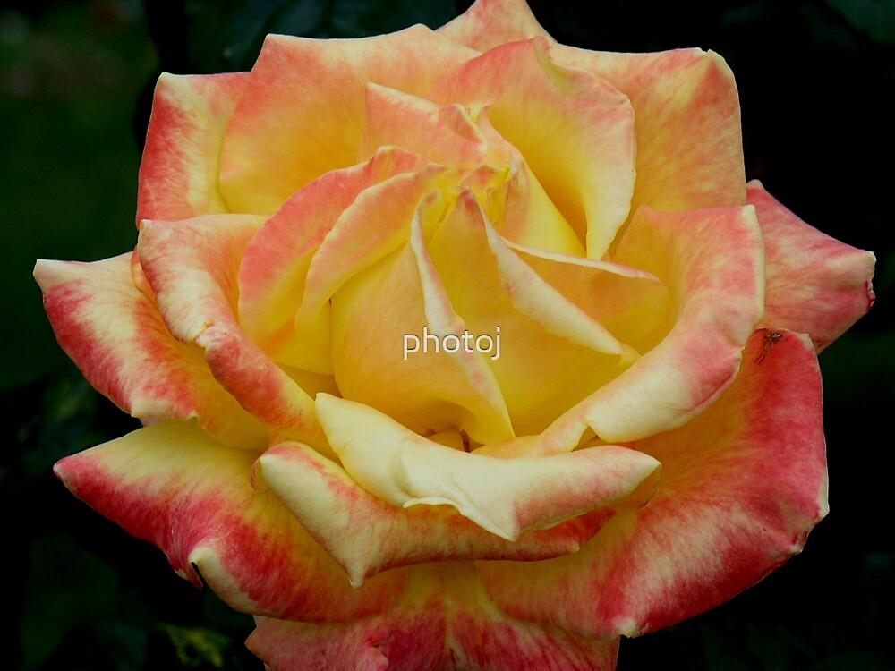 photoj Rose Flora by photoj