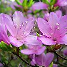 blooming azaleas by dorka31