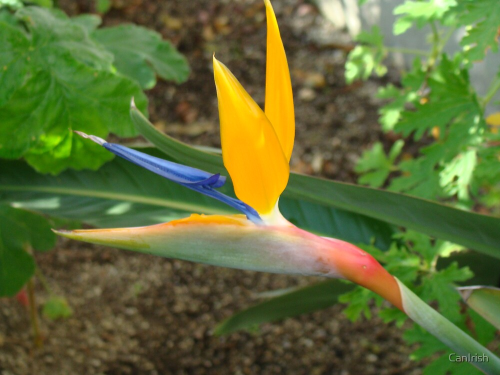 Bird of Paradise  by CanIrish