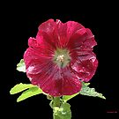The Perfect Hollyhock by © CK Caldwell IPA