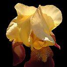 Translucent Iris by © CK Caldwell IPA