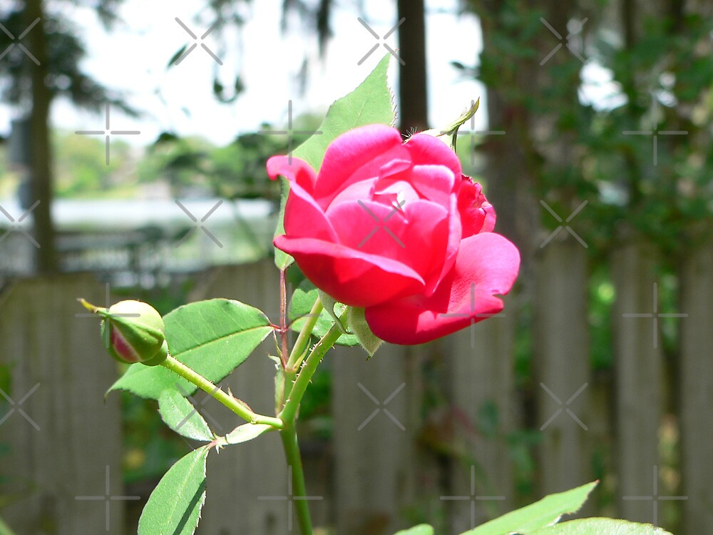 Red Rose And Bud To Follow by kevint