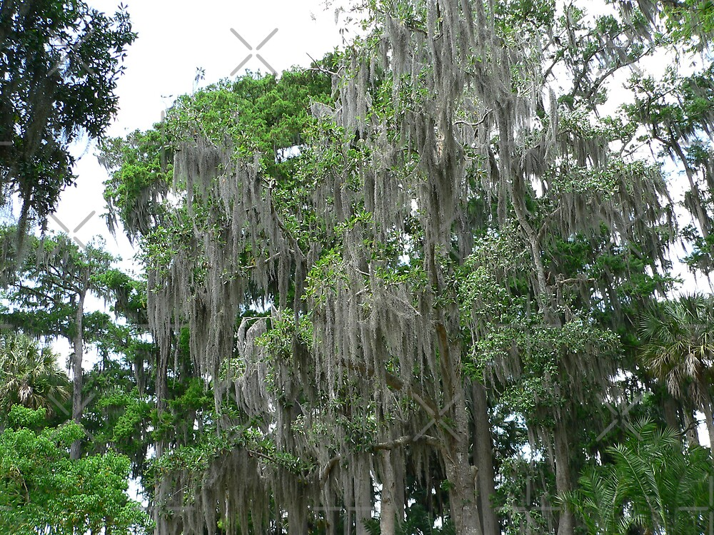The Spanish Moss Tree by kevint