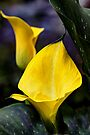 Calla Lily Portrait In Yellow and Green by MotherNature