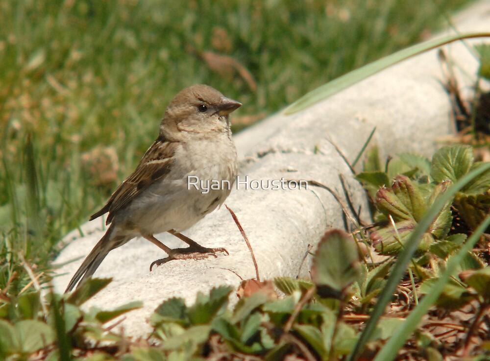 Female House Sparrow by Ryan Houston