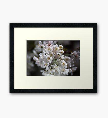 White As Spring Blossom Framed Print