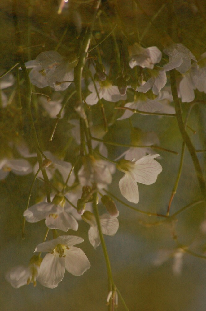 Cuckoo flower reflection by Charlotte Rose