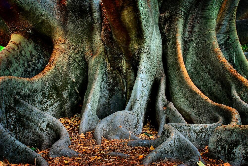 Moreton Bay Fig by Damiend