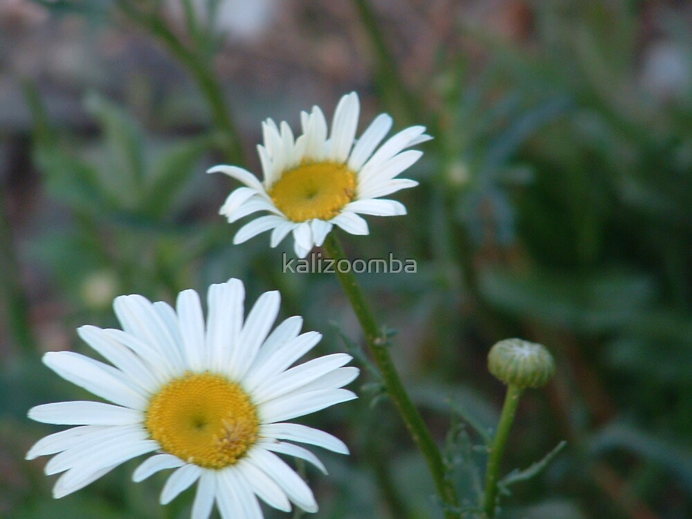 Daisies in the Wood by kalizoomba