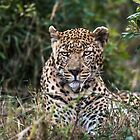 African Leopard Close Up by Richard Shakenovsky