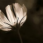 Sunlit Cosmos in Sepia by Astrid Ewing Photography