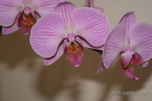 Orchids by AndrewBlackie