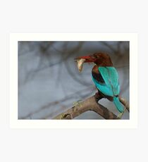 White Breasted Kingfisher Art Print