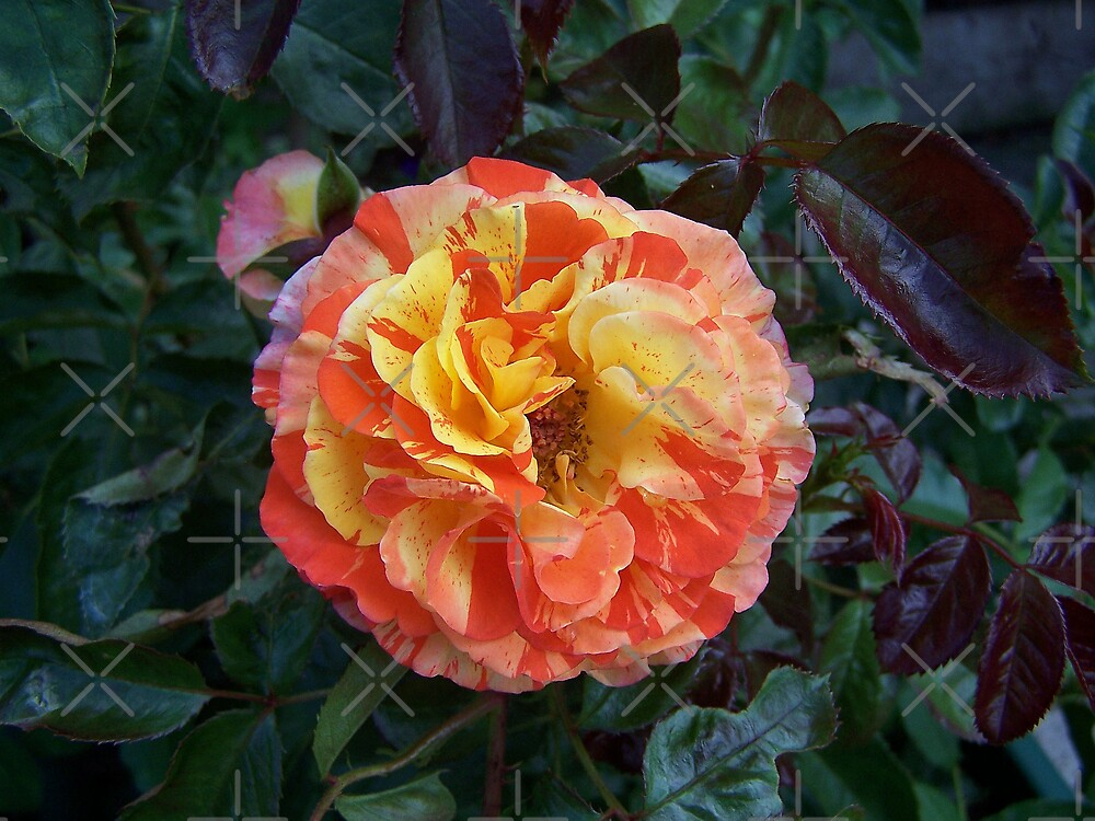 The rose Oranges and Lemons by LoneAngel