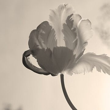 Tulip in Black and White by mlwhite