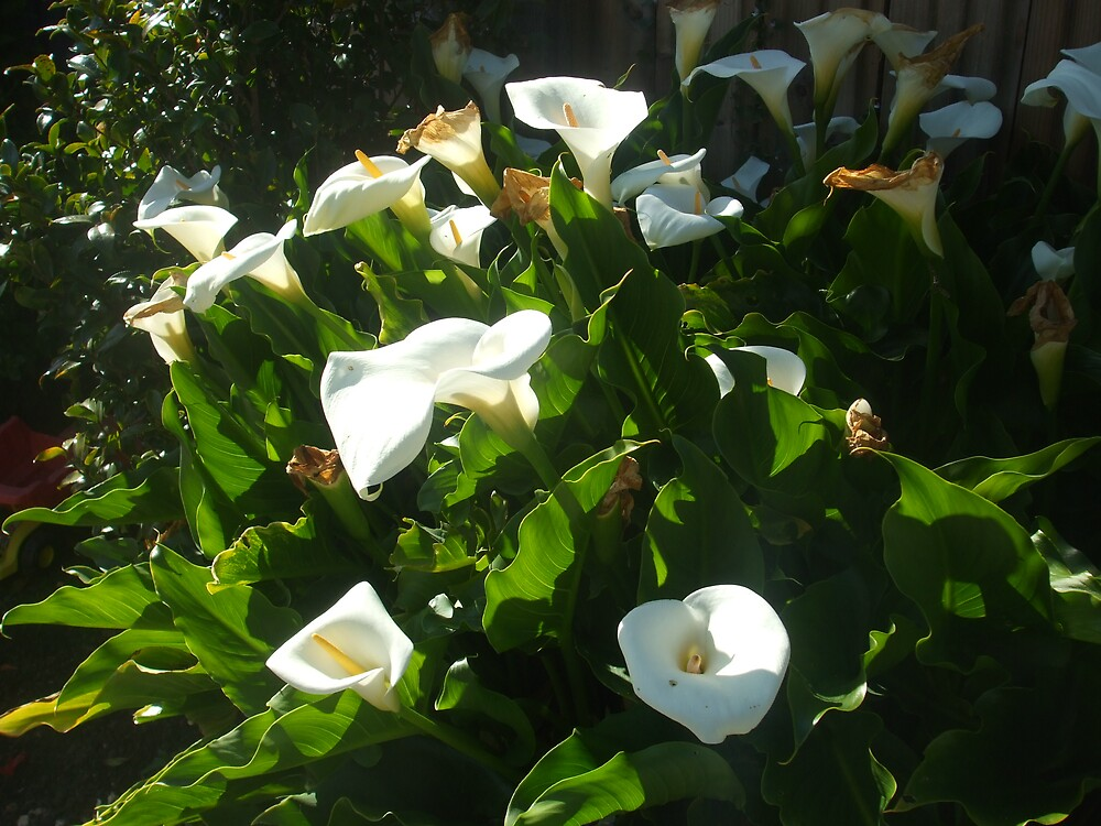 Lillies by iamclark