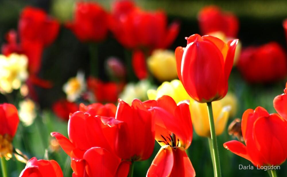 Spring Tulips by Darla  Logsdon