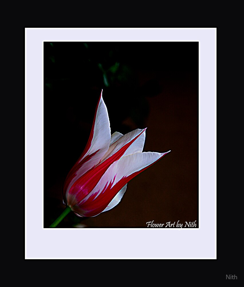Tulip by Nith